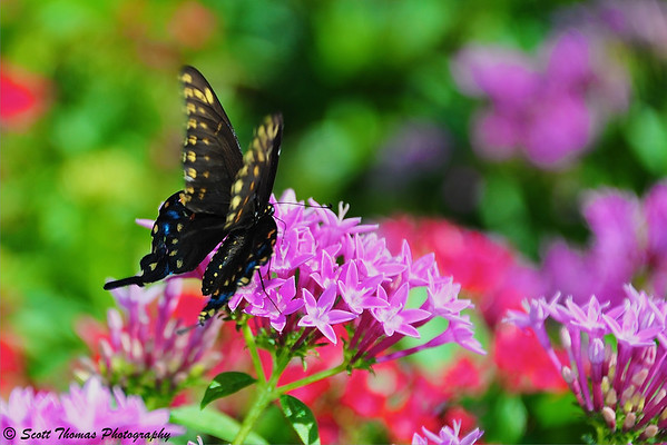 A black and yellow butterfly in some flowers near Epcot's Italy pavilion.