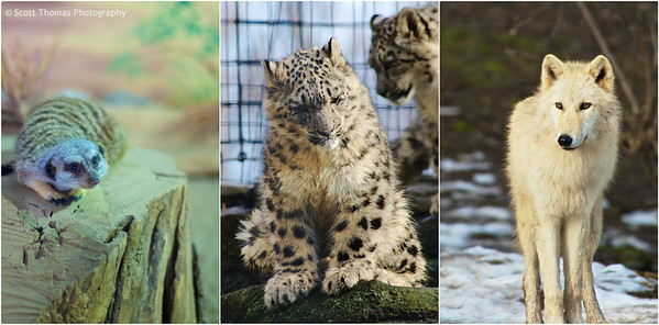 Meerkat, Snow Leopard cub and Gray Wolf at the Rosamond Gifford Zoo in Syracuse, New York.