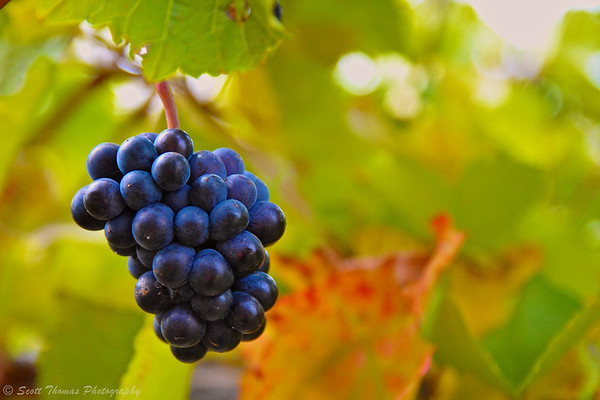 Grapes on the vine at the Ventosa Vineyards on Seneca Lake in the Finger Lakes region of New York.