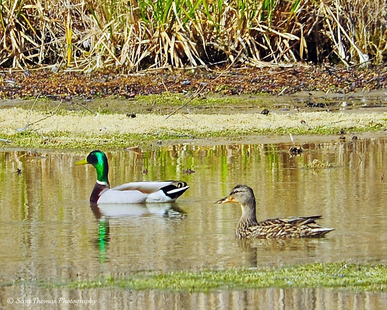 A pair of Mallard ducks (Anas platyrhynchos) at the Montezuma National Wildlife Refuge near Seneca Falls, New York.