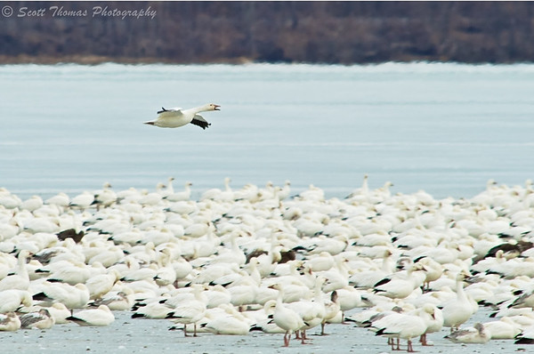 Snow goose flying over the ice looking for a place to land among the thousands of geese already on the Cayuga Lake ice.