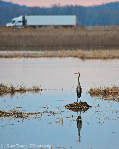 Great Blue Heron (Ardea herodias) stands on a muskrat mound at the Montezuma National Wildlife Refuge as traffic goes by on the New York State Thruway.