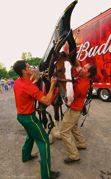 A Budweiser Clydesdales' harness and collar weighs about 130 pounds.
