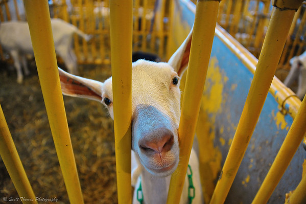 A goat looks through the bars of his cage at The Great New York State Fair in Syracuse, New York.