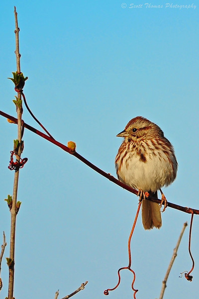 Song Sparrow (Melospiza melodia) in the Montezuma National Wildlife Refuge near Seneca Falls, New York.