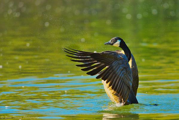 Canada Goose (Branta canadensis) bathing himself at Webster Pond south of Syracuse, New York.