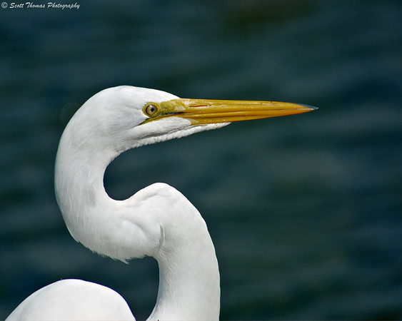 Great Egret (Ardea alba) in the Forsythe National Wildlife Refuge near Absecon, New Jersey.
