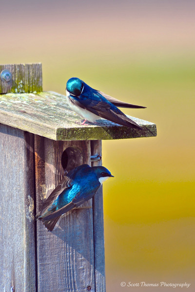 A nesting pair of Tree Swallows (Tachycineta bicolor) at the Montezuma National Wildlife Refuge near Seneca Falls, New York.