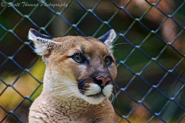 Cougar (Puma concolor) in the Binghamton Zoo at Ross Park in Binghamton, New York.
