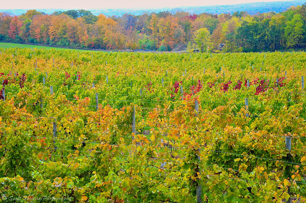 Grape vines behind the Ventosa Vineyards on Seneca Lake in the Finger Lakes region of New York.