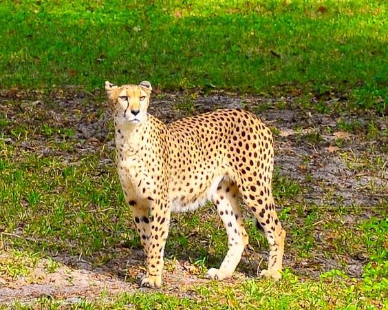Cheetah on the Wild Africa Trek tour in Disney's Animal Kingdom.