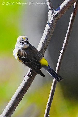 Yellow-rumped Warbler (Dendroica coronata) near the Podell Boardwalk in Sapsucker Woods at the Cornell Lab of Ornithology near Ithaca, New York.