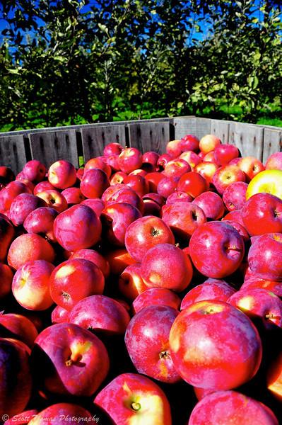 Empire apples at the Beak & Skiff Apple Farm near LaFayette, New York.