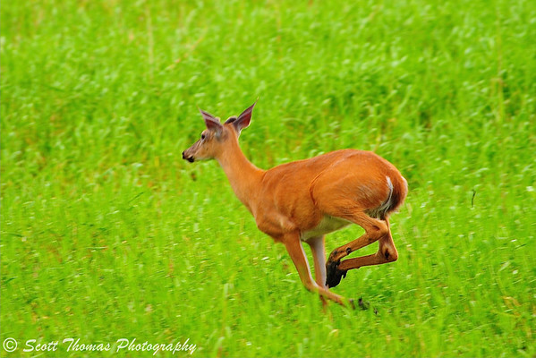 White-tailed Deer runs past the photographer in the Montezuma National Wildlife Refuge near Seneca Falls, New York.