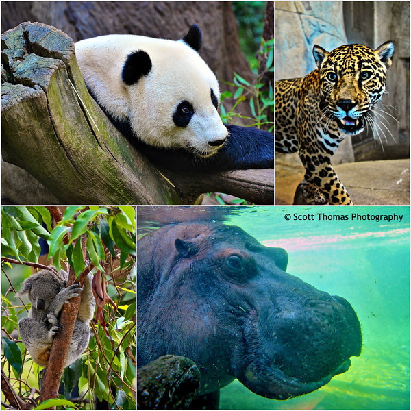 From top left: Yun Zi, the Giant Panda, up close with a Leopard, Otis, the Hippo and a sleeping Koala Bear at the San Diego Zoo in San Diego, California.