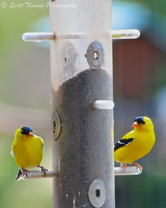 American Goldfinch (Spinus tristis) at the thistle seed feeder outside the Imogene Powers Johnson Visitor Center for Birds and Biodiversity at the Cornell Lab of Ornithology near Ithaca, New York.