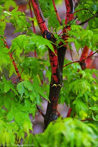 Coral bark Japanese maple at Highland Park in Rochester, New York during the Lilac Festival.
