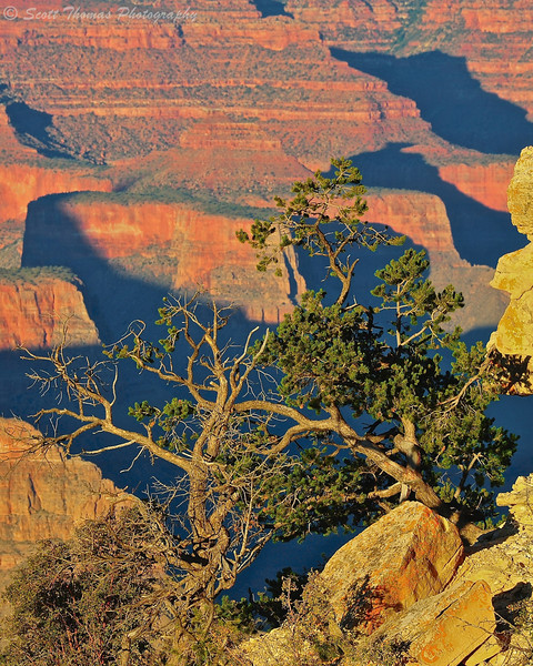 Pinyon Pine tree clings to life at Grand Canyon National Park in Arizona.