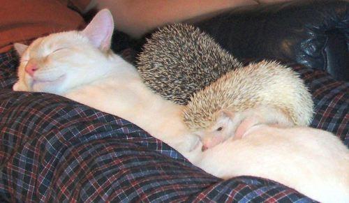 Image result for 2 hedgehogs