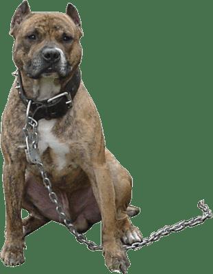 Pitbull Chain transparent PNG StickPNG
