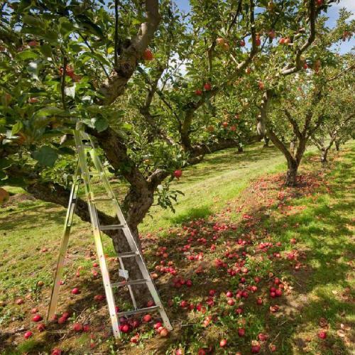 frukt og beskjæringstige