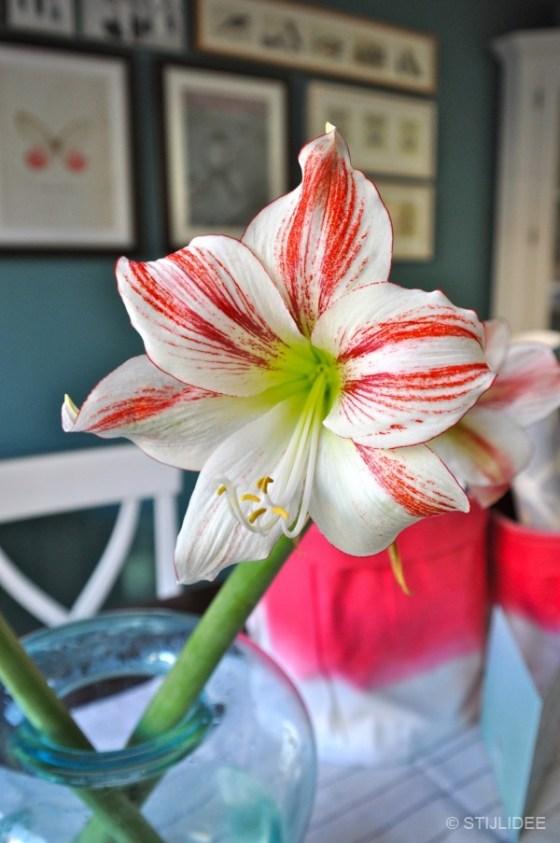 Styling met rode en witte Amaryllis door STIJLIDEE Interieuradvies en Styling