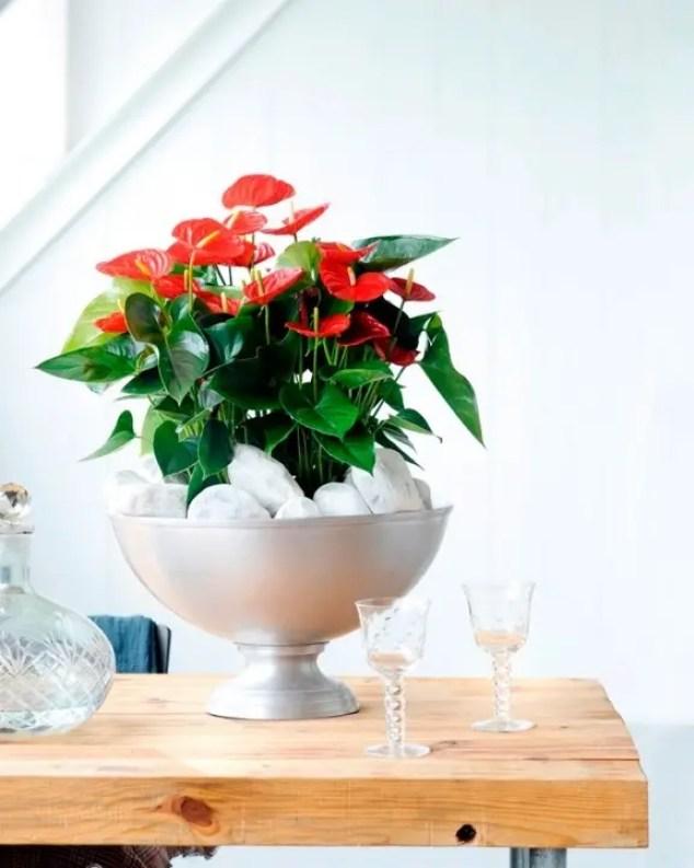 Interieur   Anthurium = Woonplant van de Maand Juni