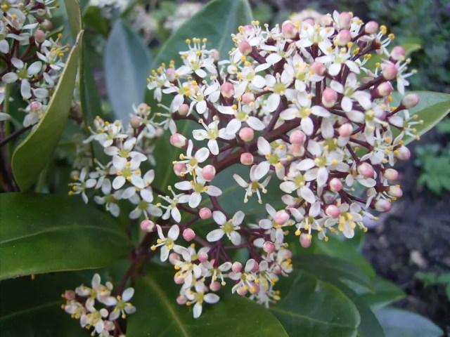 Buitenleven | Skimmia = Tuinplant van de Maand september - www.stijlvolstyling.com