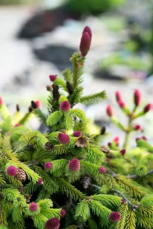 MdR 25513-37 Picea abies WEB