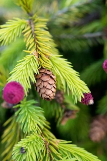 MdR 25513-38 Picea abies WEB
