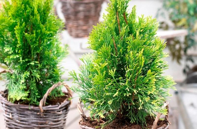 Tuinplant februari Levensboom - www.stijlvolstyling.com #woonblog #tuin #blog