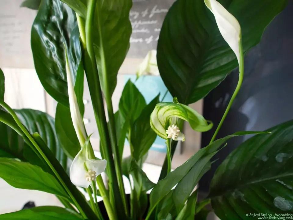 Groen wonen   Lepelplant = Woonplant vd Maand juni - Stijlvol Styling Woonblog - www.stijlvolstyling.com