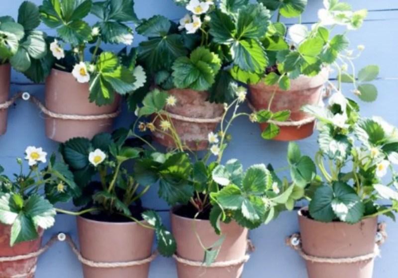 Buitenleven | Aardbei (Fragaria) = Tuinplant vd maand juni - Stijlvol Styling woonblog- www.stijjlvolstyling.com