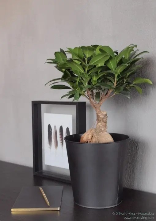 Groen wonen   Ficus Ginseng = Woonplant vd maand juli - Stijlvol Styling woonblog www.stijlvolstyling.com