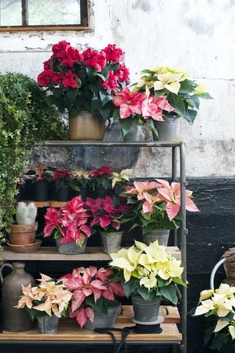 Groen wonen   Kerstster = Woonplant vd Maand november - © Woonblog StijlvolStyling.com