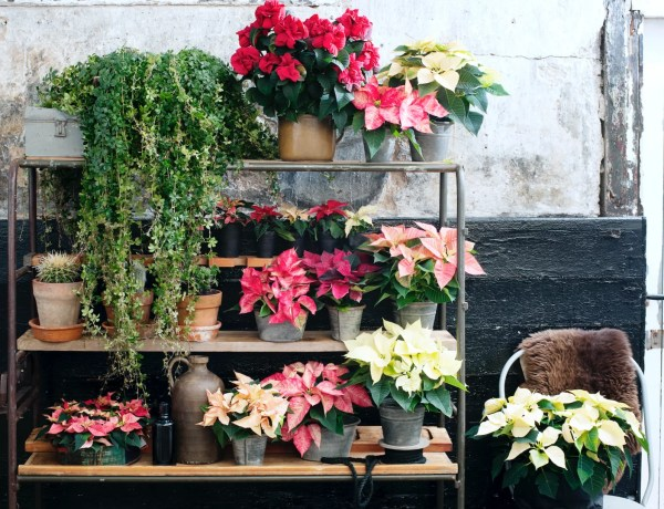 Groen wonen | Kerstster = Woonplant vd Maand november - © Woonblog StijlvolStyling.com