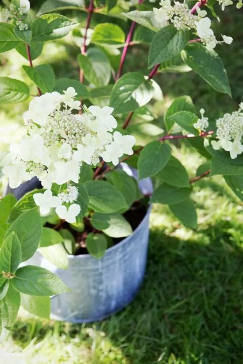 Buitenleven | Pluimhortensia brengt kleur in de tuin - Tuinplant van de Maand juli: pluimhortensia. - Woonblog StijlvolStyling.com