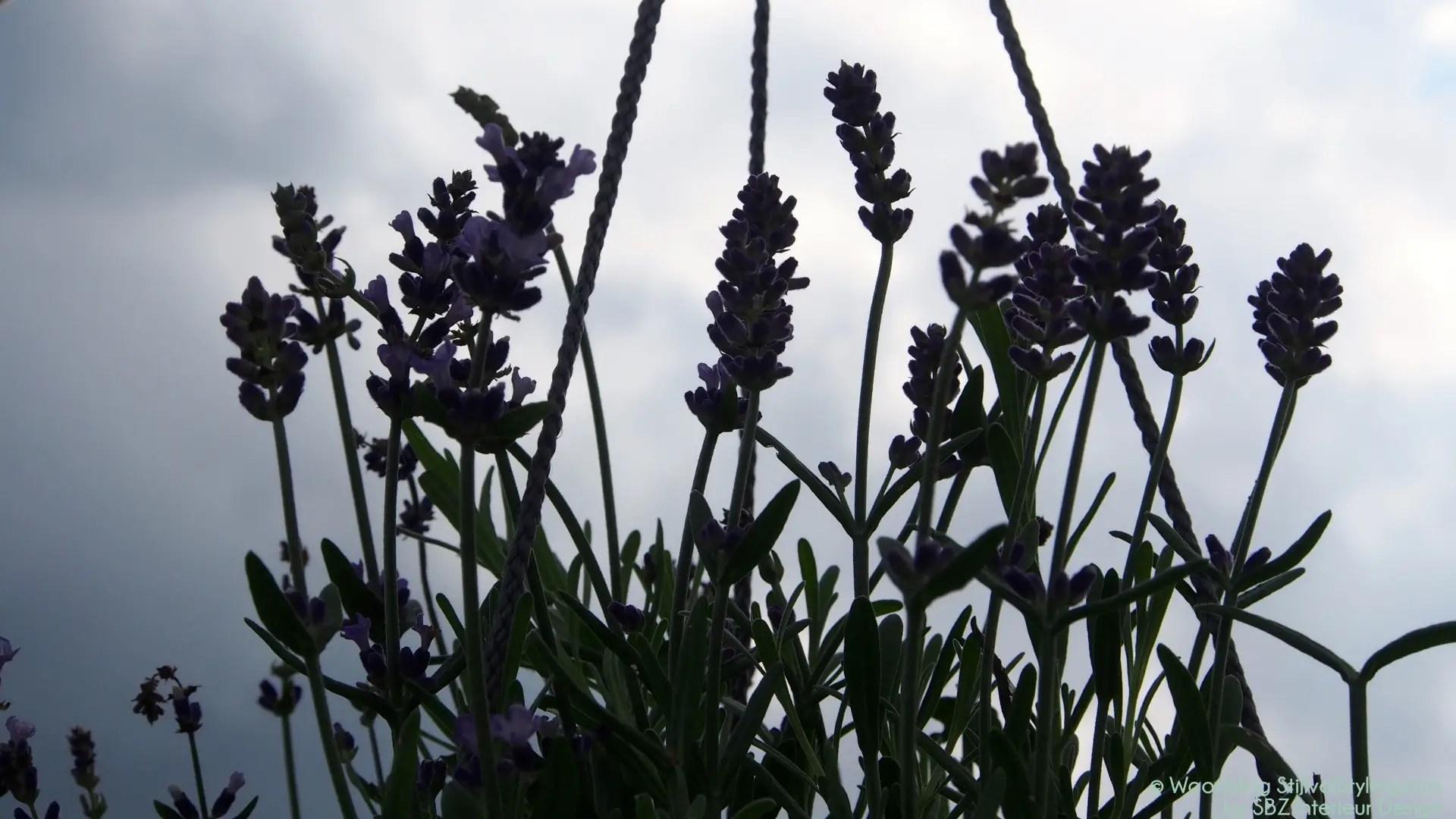Buitenleven Relaxen Lavendel : Tuin inspiratie lavendel balkonplant van het jaar