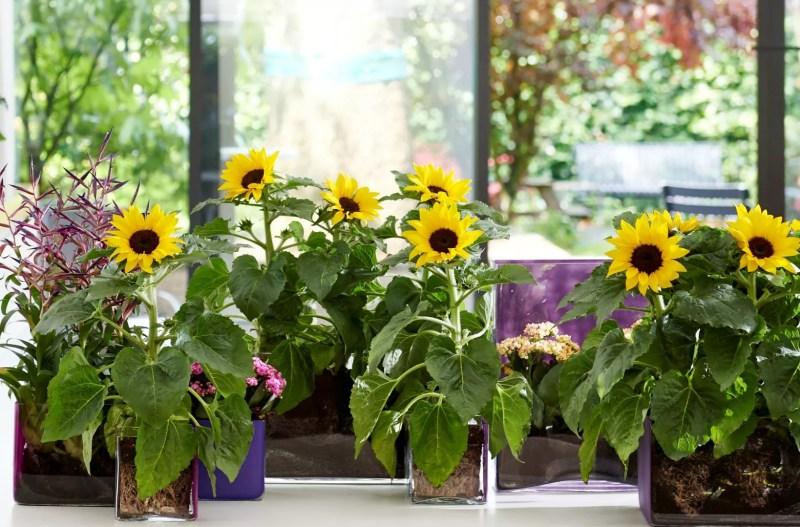 Woontrends | Zomertrends voor binnen en buiten met de zonnebloem - StijlvolStyling.com (beeld: mooi wat planten doen)