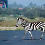 Zebras, Rain, Mud, and a Flat Tire
