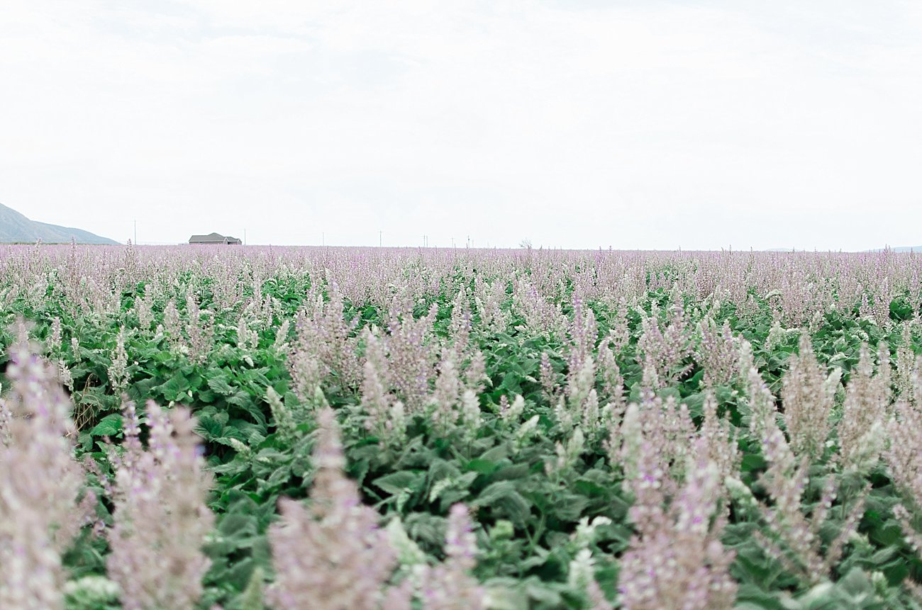 Young Living Lavender Farm, Mona, Utah (18)