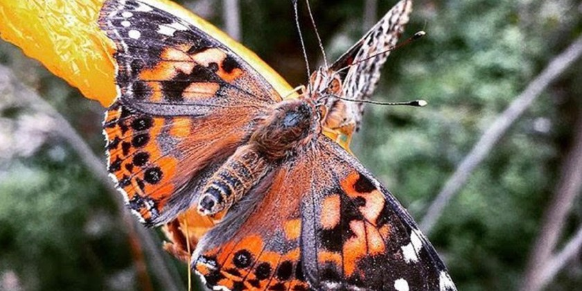Butterfly resting on an orange