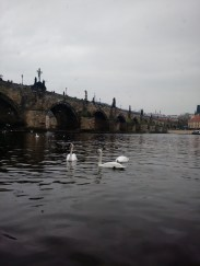 Lovely swans all along the river
