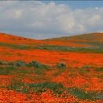 미국 서부지역 자연 100배 즐기기 (16) Antelope Valley California Poppy R
