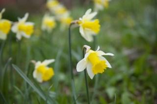 Wild Daffodil (Narcissus pseudonarcissus subsp. pseudonarcissus)