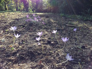 6 October 2013. Meadow saffron and Autumn crocus in the orchard.