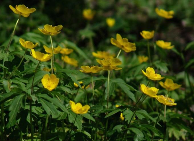 Gele anemoon