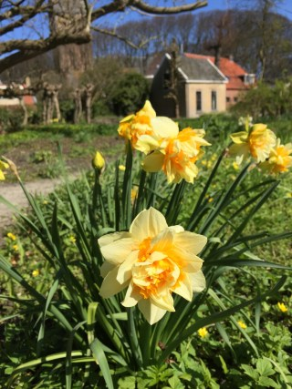 Orange Phoenix, Daffodil in the vegetable garden circle. 18 April 2015.