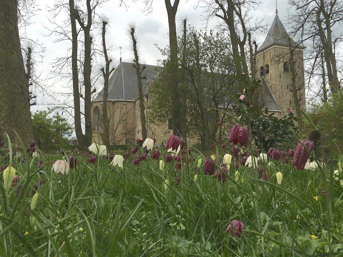 Kievitsbloemen in de Pastorietuin in Easterein. Op de achtergrond de Martinikerk.