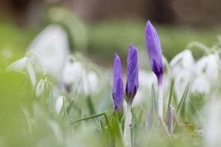 The first Dutch Crocuses between the Snowdrops at Martenastate.